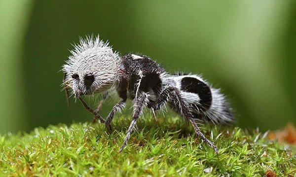 La-fourmi-panda