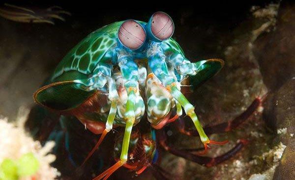 Stomatopoda
