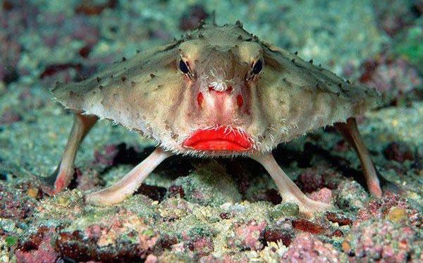 poisson-chauve-souris-aux-lèvres-rouges