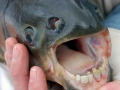 poisson-pacu-a-dents