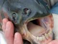 poisson-pacu-a-dents