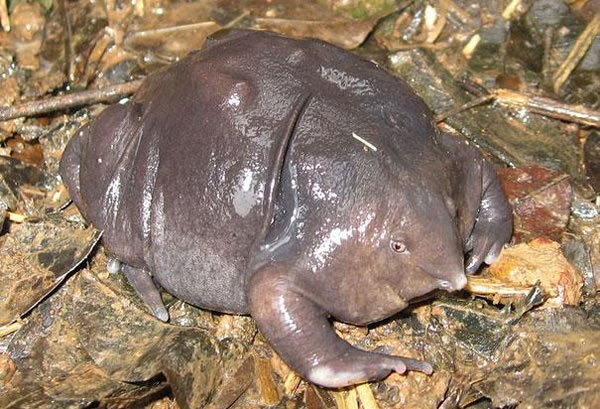 tortue-indienne-violette