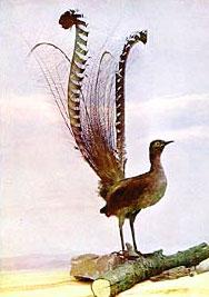 Oiseau_Lyre